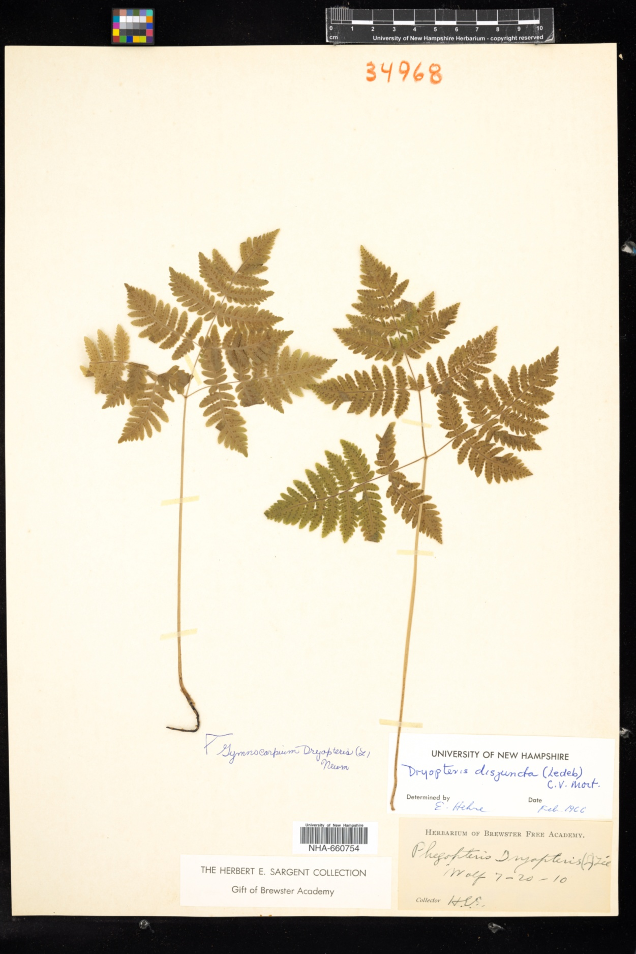 Gymnocarpium image