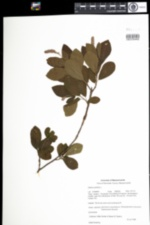 Image of Clethra alnifolia