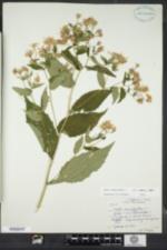 Eurybia divaricata image