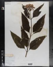 Image of Eupatorium dubium