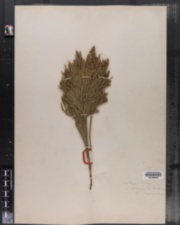 Lycopodium obscurum image