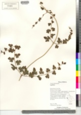Image of Lygodium venustum