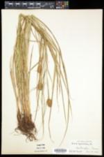 Carex squarrosa image