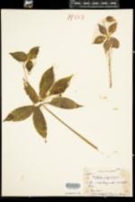 Medeola virginiana image