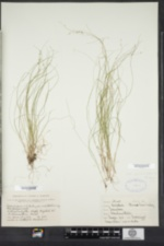 Carex appalachica image