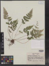 Cystopteris tennesseensis image