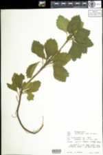Image of Pachysandra terminalis