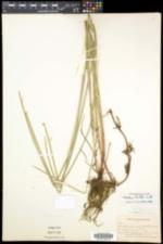 Eleocharis palustris subsp. palustris image