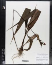 Image of Spathoglottis plicata