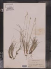 Carex alba image