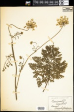 Image of Daucus carota