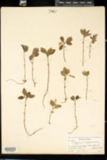 Polygala paucifolia image