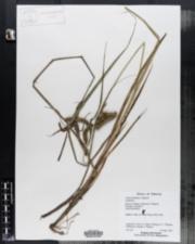 Image of Carex bohemica