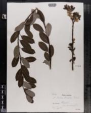 Image of Salix bicolor