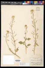 Sinapis alba image