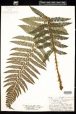 Image of Polystichum potteri
