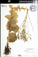 Image of Lactuca sativa