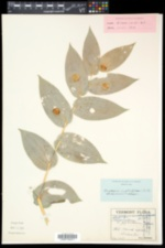 Streptopus amplexifolius image