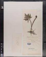 Image of Botrychium biternatum