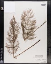 Equisetum sylvaticum var. pauciramosum image