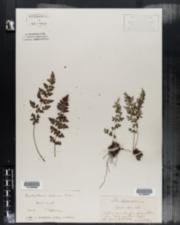 Image of Cystopteris alpina