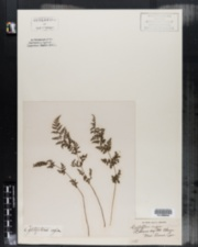 Image of Cystopteris regia