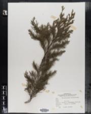 Image of Cupressus nootkatensis