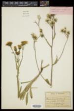 Picris hieracioides image