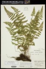 Cystopteris laurentiana image