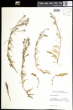 Image of Lepidium virginicum