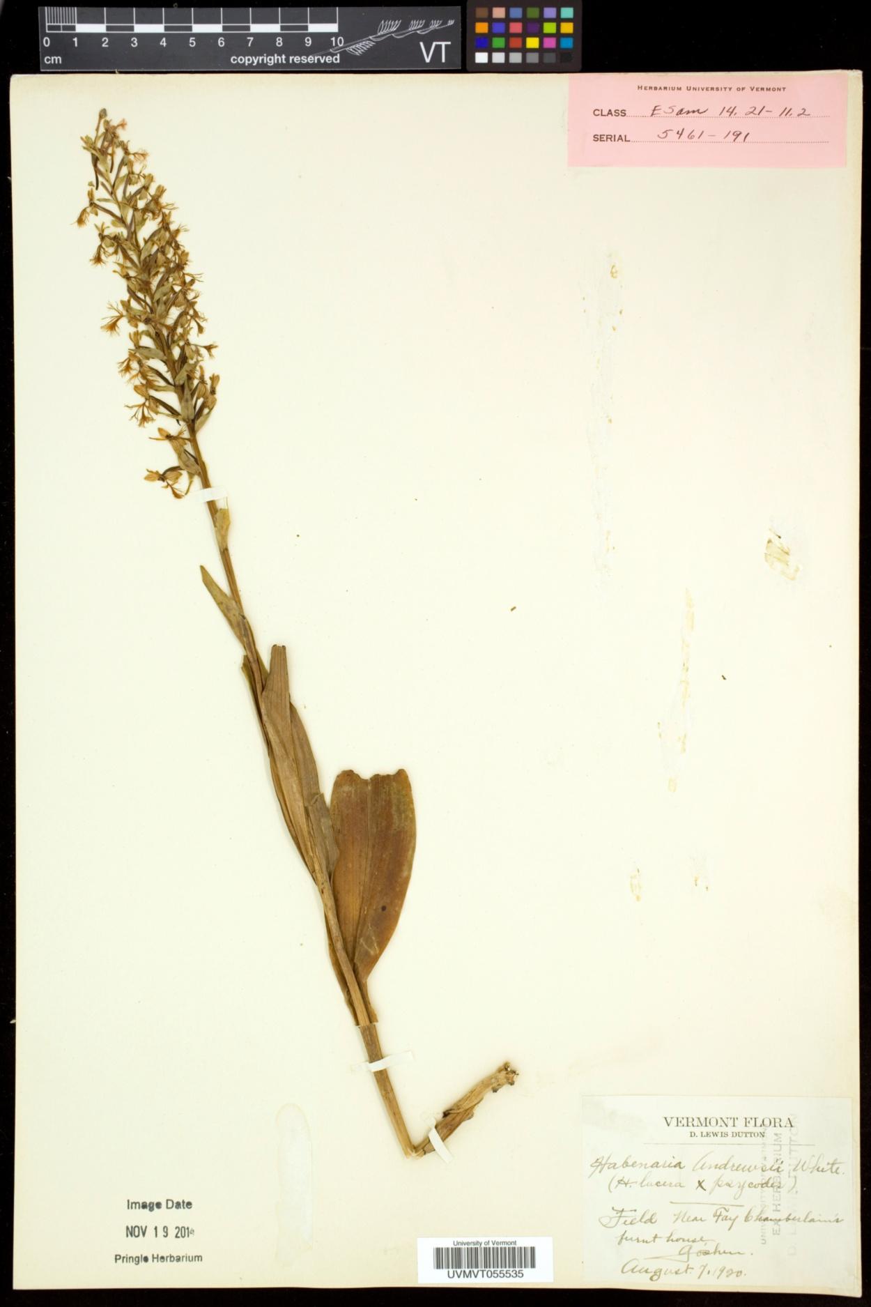Platanthera andrewsii image