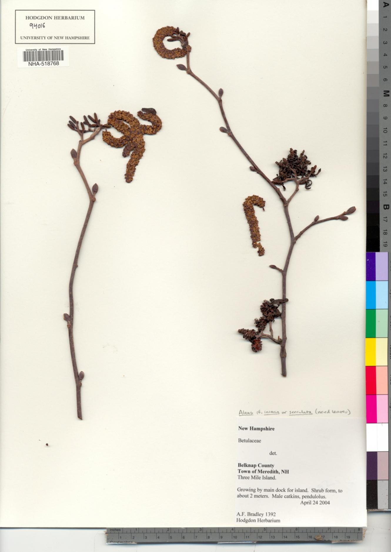Betulaceae image