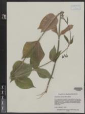Cynanchum rossicum image