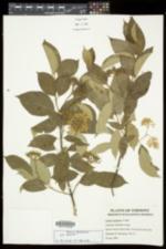 Swida amomum image