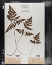 Image of Phegopteris calcarea