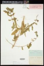 Epilobium hirsutum image