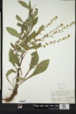 Solidago bicolor image