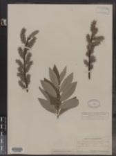 Image of Salix discolor × humilis