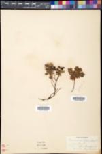 Vaccinium vitis-idaea image