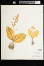 Image of Liparis liliifolia