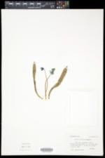 Scilla siberica image