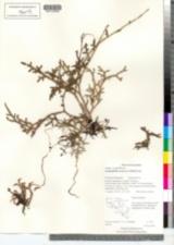 Image of Lycopodiella cernua