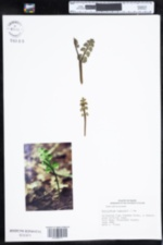 Image of Botrychium lunaria