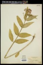 Asclepias incarnata var. pulchra image