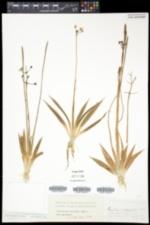 Sagittaria graminea var. graminea image