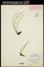 Equisetum variegatum subsp. variegatum image