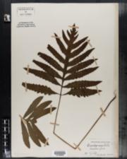 Onoclea sensibilis image