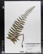 Polystichum acrostichoides image
