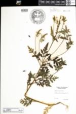 Image of Ambrosia artemisiifolia