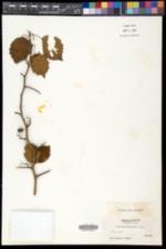 Crataegus brainerdii image